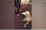 Clip: Chú chó giả chết tài tình, dọa 'bạn thân' sợ khóc thét