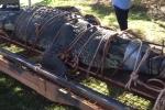 Clip: Cá sấu khổng lồ nặng 600kg sa lưới sau 10 năm bị săn lùng