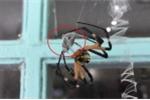 Clip: Rợn người xem nhện cái khổng lồ ăn thịt bạn tình sau khi giao phối