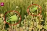 Clip: Vẹt nghiện ma túy cướp phá cánh đồng hoa anh túc