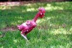 Gà Đông Tảo lọt top giống gà độc đáo nhất thế giới