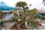 Video: Ngắm cây đỗ quyên 400 năm tuổi thế quần tụ của đại gia Lào Cai, trả 1 tỷ đồng không bán