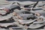 Đại sứ quán Việt Nam tại Chile thông tin nguồn gốc vây cá mập phơi ở thương vụ Việt