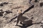 Báo đốm ra đòn sát thủ với trăn khổng lồ