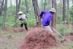 Dân Nghệ An đổ xô đi nhặt 'thủ phạm' gây cháy rừng mang về làm giàu