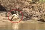 Clip: Cá sấu khổng lồ xé xác, xơi tái đồng loại gây sốc