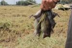 Video: Xem nông dân Đồng Tháp bắt chuột thu nửa triệu đồng mỗi ngày