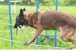 Clip: Chó nghiệp vụ bịt mắt đi thăng bằng trên dây khiến ai xem xong cũng ngỡ ngàng