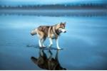 Chó có khả năng đi trên mặt nước thần kỳ