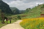 Thung lũng hoa Mộc Châu rực rỡ sắc màu