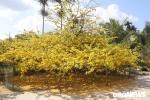 Chiêm ngưỡng 'cụ mai' nở hoa vàng rực, phủ tròn hơn 50m2 ở miền Tây