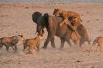 Ảnh: Voi con ác chiến khốc liệt với 14 con sư tử đói