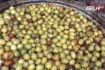 Cận cảnh quy trình làm mứt táo thối ủng, lẫn với ruồi chết ở Hưng Yên