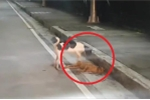 Rơi nước mắt nhìn chú chó đau đớn lay xác bạn bị xe cán chết
