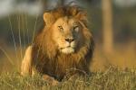 Kì lạ chuyện đàn sư tử bờm đen cứu bé gái khỏi nhóm bắt cóc