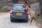 Kinh hãi cảnh sư tử lao vào xe ô tô tấn công người