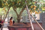 Cận cảnh cây quýt cổ thụ trăm tuổi giá bán hàng trăm triệu ở Nghệ An