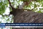 Thay thế 4.000 cây xà cừ: Giám đốc Sở Xây dựng Hà Nội thông tin bất ngờ