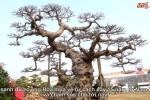 Video: Mục sở thị cây sanh dáng 'Long' được trả giá triệu đô chưa bán