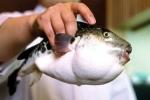 Dân Nhật lo sợ vì cá cực độc chết người lọt ra siêu thị