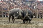 3.000.000 đồng/kg thịt trâu vô địch trong lễ hội chọi trâu ở Vĩnh Phúc