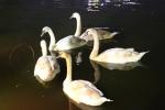 12 con thiên nga ở Hồ Gươm vừa bị bắt đi sẽ được nuôi ở đâu?
