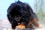 Chó Ngao Tây Tạng cắn chết người ở Hà Nội: Giải mã nỗi sợ ở những đứa trẻ từng bị chó cắn