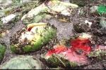 Nước nhấn chìm hoa màu ở Thanh Hóa, dân xót xa vứt hàng tấn dưa hấu cho bò ăn
