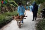 Hải Phòng phát hiện ổ dịch tả lợn châu Phi đầu tiên