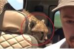Clip: Báo nhảy lên ô tô săn mồi, chàng trai phản ứng cực thông minh