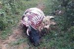 Truy tìm kẻ xẻ thịt trâu chỉ còn lại trơ xương trên đồi ở Lạng Sơn