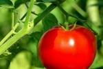 Cảnh báo: Những độc tố khi ăn khoai tây, cà chua, cà tím, ít người biết