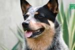 Chú chó cứu bé gái 3 tuổi lạc trong rừng ở Australia