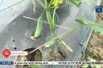 Kẻ gian phá 4.000 gốc dưa leo, khổ qua của nông dân Quảng Ngãi