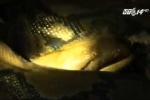 Clip: Hà Tĩnh đưa trăn gấm 'khủng' trong chuồng trâu ra Hà Nội