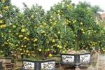 Cận cảnh cây bưởi cổ thụ cao 4 m với 300 quả vàng ươm giá hơn 60 triệu đồng