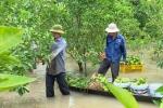 Hàng loạt vườn cây, làng hoa miền Tây bị lũ nhấn chìm