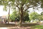 Công an xã lập chốt bảo vệ 3 cây sưa ở Hà Nội