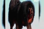 Hết thời, chó Ngao Tây Tạng biến thành món ăn trong nồi lẩu