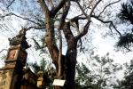 Cận cảnh cây sưa 200 tuổi giá 24,5 tỷ đồng ở Bắc Ninh