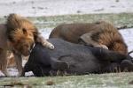Kinh ngạc sư tử hung hãn cưỡi lưng voi