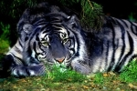 'Võ Tòng' diệt hổ khổng lồ, giải thoát cho cả trăm kiếp ma trành ở Thanh Hóa