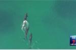 Video: Bầy cá voi truy sát cá mập nghiệt ngã