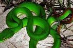 Nguyên nhân rắn lục đuôi đỏ nhiều bất thường