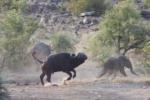 Clip: Đàn trâu rừng dũng mãnh tấn công sư tử, cứu mạng voi con