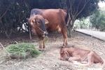 """Thanh Hóa: Dân muốn chăn thả trâu bò phải nộp """"phí đồng cỏ"""""""