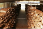 Nông dân chăm cây nấm khỏe mạnh nhờ công nghệ sóng siêu âm