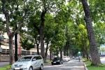 Nhiều cây xanh ở TP.HCM nghi bị 'hạ độc'