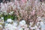 Ảnh: Hoa anh đào Nhật Bản khoe sắc trước giờ khai mạc lễ hội
