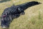 Mổ bụng cá sấu hơn 200 kg, rụng rời phát hiện tay, chân người bên trong